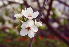 A cereja branca floresce o fundo, mola Imagem de Stock Royalty Free