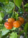 Cereja brasileira (Pitanga) na árvore Fotografia de Stock