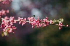 Cereja como a flor na mola foto de stock