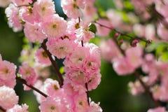 A cereja cor-de-rosa macia sakura floresce na flor completa com as folhas verdes pequenas Cartão da mola foto de stock royalty free