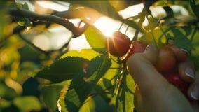 Cereja da colheita da mão da mulher filme