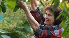 Cereja da colheita da mão do ` s da mulher filme