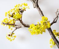 Cereja de cornalina amarela, cornel europeu ou corniso - bloomig tr Imagens de Stock