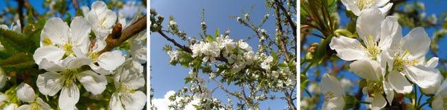 Cereja de florescência Imagens de Stock