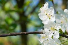 A cereja de florescência Fotografia de Stock Royalty Free