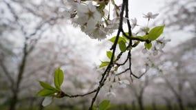 Cereja de florescência video estoque