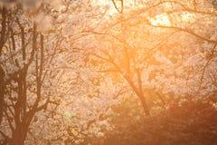 Cereja de florescência Foto de Stock