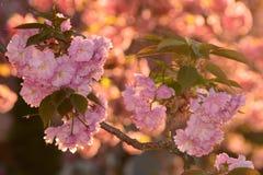 Cereja de florescência Fotos de Stock Royalty Free