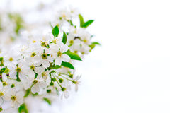 Cereja de florescência Imagem de Stock