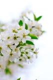 Cereja de florescência Imagem de Stock Royalty Free