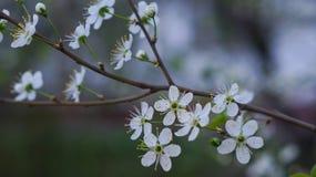 A cereja de florescência Imagem de Stock Royalty Free
