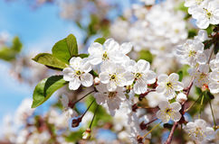Cereja de florescência Foto de Stock Royalty Free