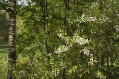 Cereja de florescência Fotografia de Stock