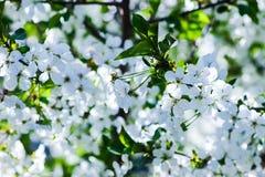 Cereja de florescência das flores brancas Foto de Stock Royalty Free