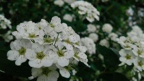 Cereja de floresc?ncia Flores de encantamento na noite imagens de stock royalty free