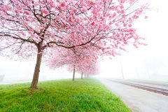 Cereja de florescência, árvores de sakura Fotografia de Stock Royalty Free