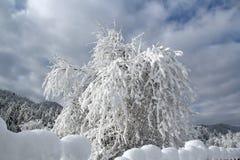 Cereja de pássaro em uma neve Fotos de Stock Royalty Free