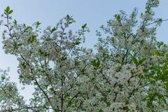 Cereja de pássaro de florescência contra o céu Fotos de Stock Royalty Free