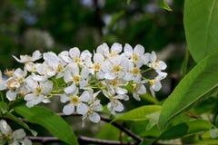 Cereja de pássaro novo com flores brancas Fotografia de Stock