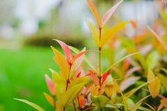 Cereja de Rose Apple /Brush do australiano/angra Lily Pilly /Creek Satina fotografia de stock