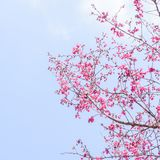 Cereja de Taiwan com céu azul e a nuvem branca Imagens de Stock Royalty Free
