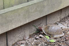 A cereja dirigiu a tartaruga footed vermelha Foto de Stock