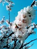 Cereja do flowertree de Springtree imagens de stock