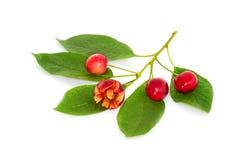 Cereja doce engraçada em um ramo Fotos de Stock