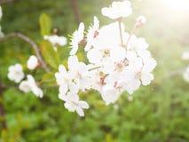 Cereja e árvores de Apple de florescência na primavera, o espaço para o texto, cumprimentos no dia feliz do ` s das mulheres Imagem de Stock