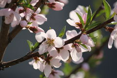 A cereja floresce na árvore do ramo na primavera no dia ensolarado Fotografia de Stock Royalty Free