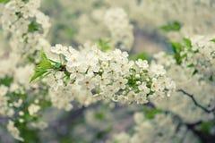 A cereja floresce o frame Fotos de Stock