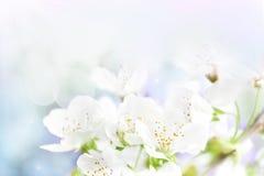 A cereja floresce o fundo fotos de stock royalty free