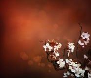 A cereja floresce o fundo Fotografia de Stock Royalty Free