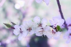 A cereja fresca nova da mola floresce o close-up em vagabundos coloridos do bokeh Foto de Stock Royalty Free