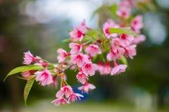 Cereja Himalaia Imagens de Stock