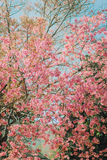 Cereja Himalaia Foto de Stock