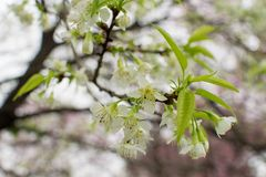 A cereja Himalaia selvagem é branca e rara bonitos foto de stock