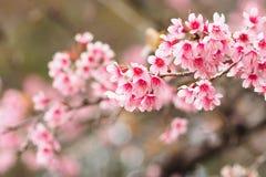 Cereja Himalaia selvagem, flores Fotografia de Stock Royalty Free