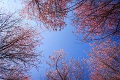 Cereja Himalayan selvagem Foto de Stock Royalty Free