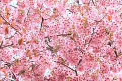 Cereja Himalayan selvagem Foto de Stock
