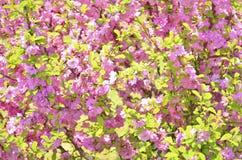 Cereja japonesa Imagem de Stock