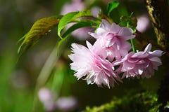 A cereja japonesa cor-de-rosa igualmente chamou flores de sakura, Prunus latin Serrulata do nome As folhas verdes novas da forma  Fotos de Stock Royalty Free