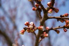 Cereja japonesa de florescência bonita - Sakura Fundo com flores em um dia de mola Fotografia de Stock