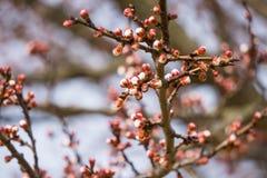Cereja japonesa de florescência bonita - Sakura Fundo com flores em um dia de mola Fotos de Stock Royalty Free