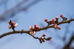 Cereja japonesa de florescência bonita - Sakura Fundo com flores em um dia de mola Foto de Stock