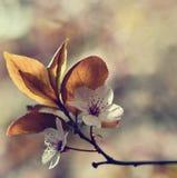 Cereja japonesa de florescência bonita Sakura Fundo da estação Fundo borrado natural exterior com a árvore de florescência na mol Fotografia de Stock Royalty Free