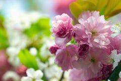 Cereja japonesa de florescência cor-de-rosa Imagens de Stock