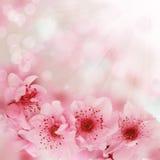 A cereja macia da mola floresce o fundo fotografia de stock