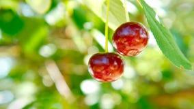 Cereja madura vermelha em um ramo de árvore vídeos de arquivo