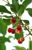 Cereja na árvore imagens de stock royalty free
